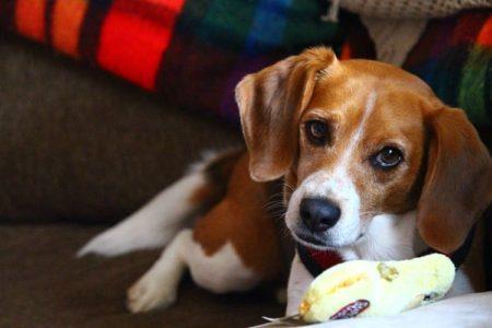 11 Brilliant Beagle Facts
