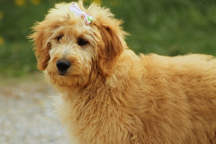 Goldendoodle Facts