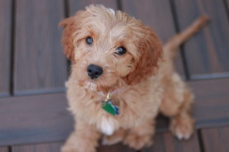 Maltipoo Full Grown (Size, Weight, Age)