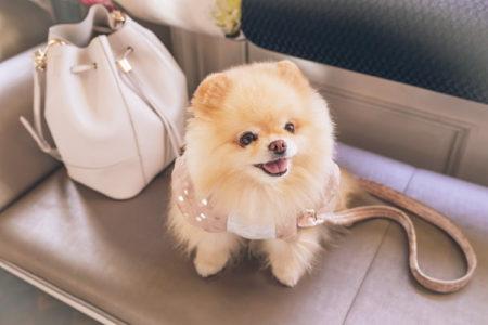 14 Interesting Pomeranian Facts