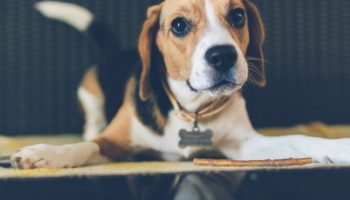 Are Beagles Good Dogs? (Temperament, Personality, Health)