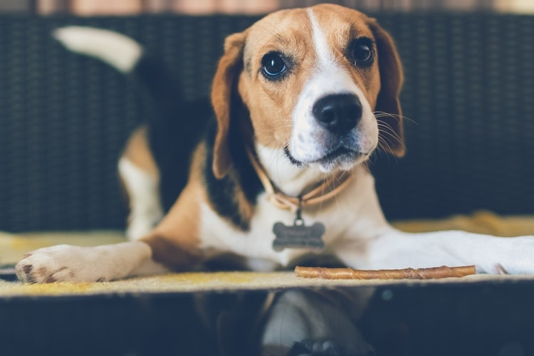 Are Beagles Good Dogs