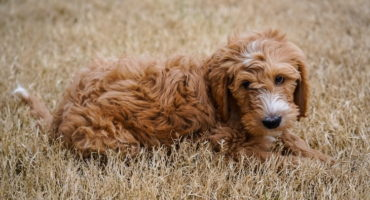 Are Goldendoodles Good Dogs? (Temperament, Personality, Health)
