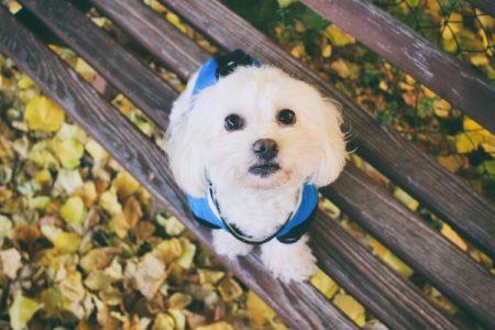 Are Maltese Good Dogs? (Temperament, Personality, Health)