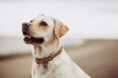 Why Do Dogs Press Their Head On You? (9 Reasons)
