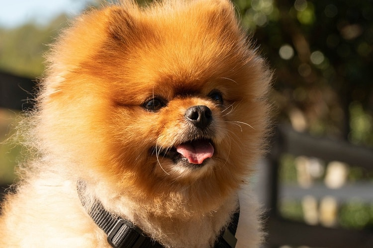 Pomeranian Training Tips