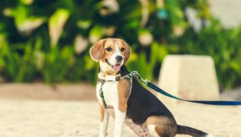 Why Do Dogs Show You Their Bum (6 Reasons)
