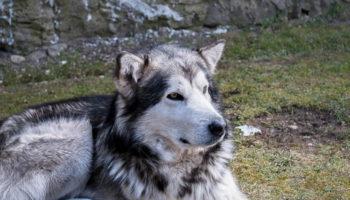 15 Awesome Alaskan Malamute Training Tips