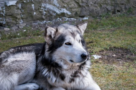 15 Awesome Alaskan Malamute Training Tips