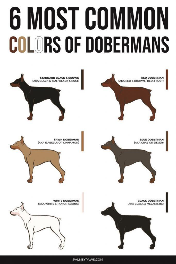 Top Doberman Colors.