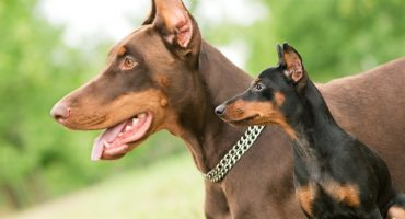 Doberman Colors – 6 Most Common Colors of Pinschers