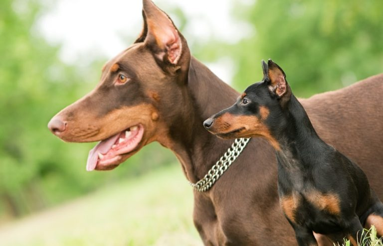 Doberman Colors.