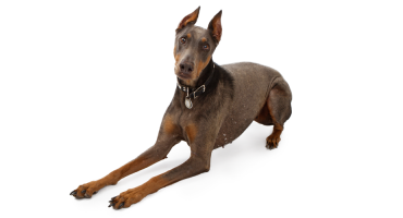 Everything About the Blue Doberman Pinscher