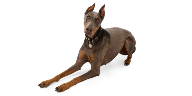 Blue Doberman Pinscher.