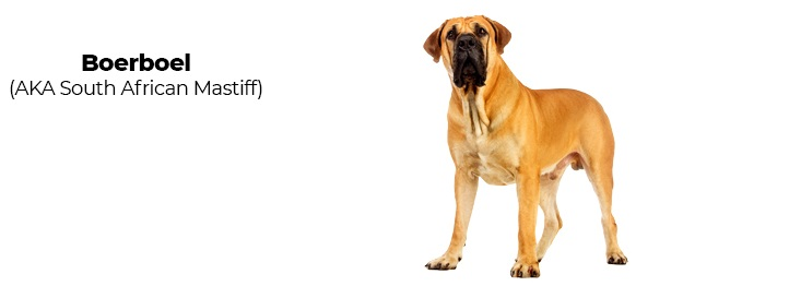 South African Mastiff.
