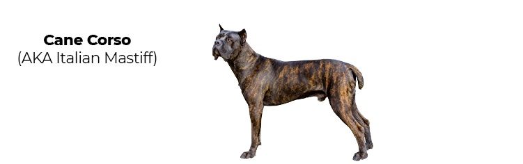 Cane Corso Mastiff.