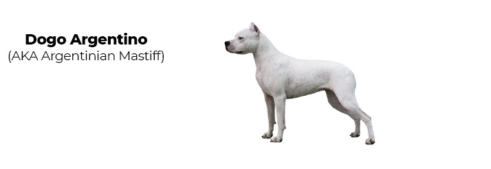 Dogo Argentino Mastiff.