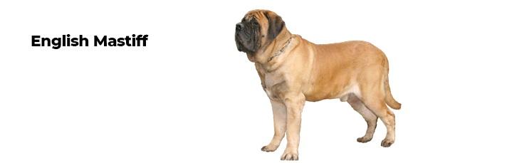 The English Mastiff.