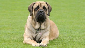 Mastiff Breeds – 20 Types of Mastiffs