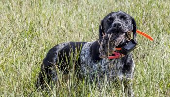 The Mountain Cur – Breed Info for the American Pioneer Dog