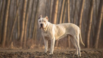 Dogo Argentino – Owner's Guide to the Giant Argentinian Mastiff