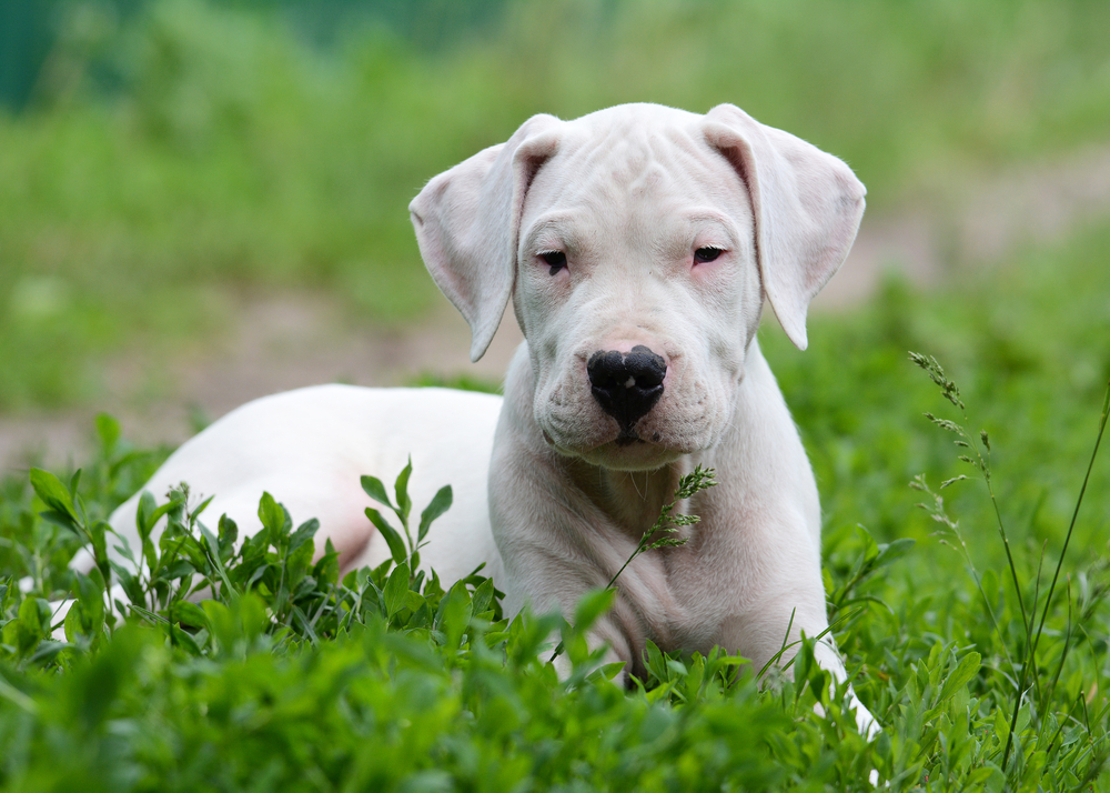Young Dogo Argentino.
