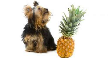 Can Dogs Eat Pineapple?