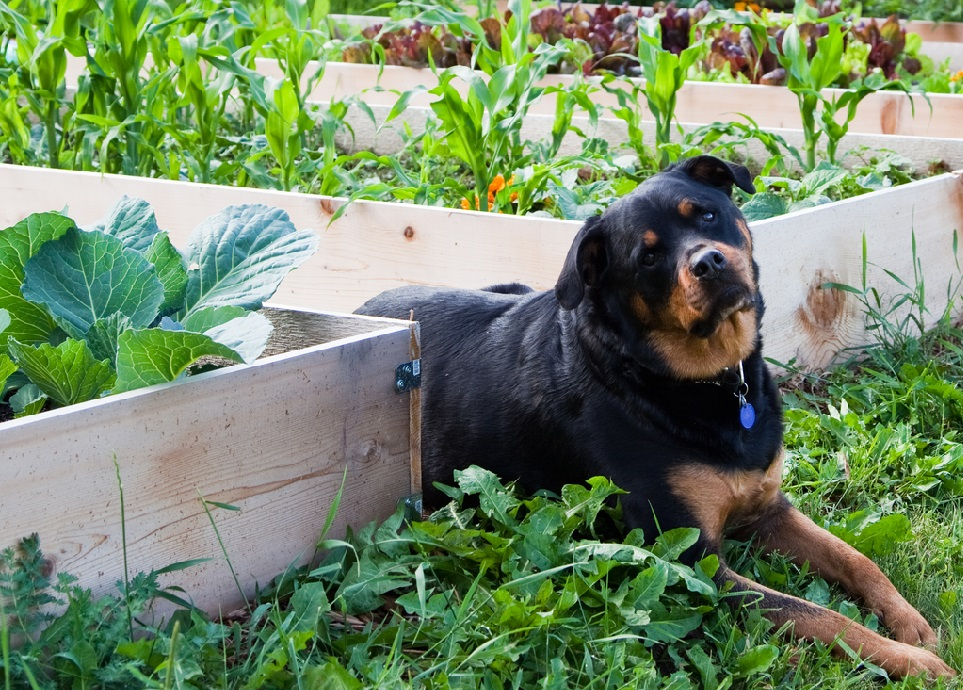 Should dogs have cabbage