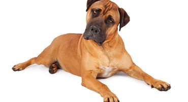 The American Mastiff – History and Owners Guide